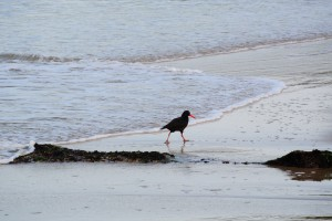 African Black Oyster Catcher