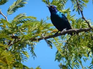 Blue-Eared Starling