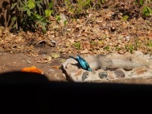 Blue Eared Starling