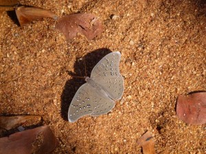 Guineafowl Butterfly