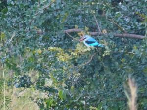 Woodland Kingfisher
